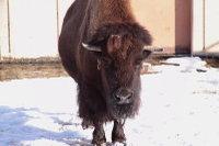Bison04