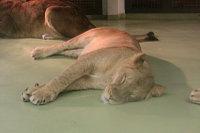 Lions_m05