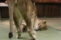 Lions_m07