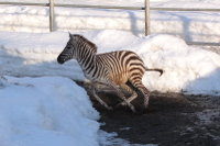 Zebra31