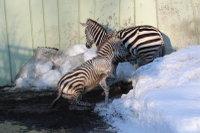 Zebra32