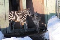 Zebra33
