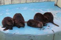 Beaver22