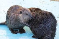 Beaver24