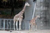 Giraffes35