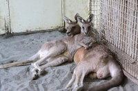 Kangaroo12
