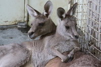 Kangaroo13