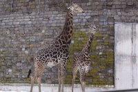 Giraffes37