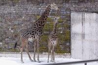 Giraffes38