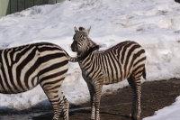 Zebra36