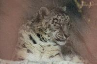 Snowleopard_h01