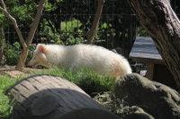 Albinotanuki
