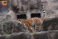 Tiger_ha02