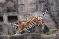 Tiger_ha03
