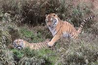 Tigers_t02