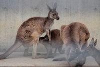 Kangaroo14