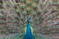 Peacock10