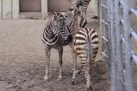 Zebra37