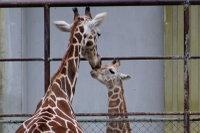 Giraffe_h01
