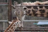 Giraffe_h02