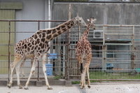 Giraffe_h03