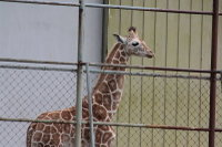 Giraffe_h04
