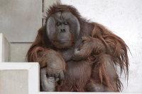 Orangutan30