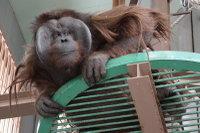 Orangutan31