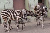 Zebra39