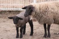 Sheep_suffolk03