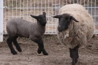 Sheep_suffolk04