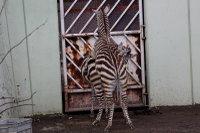 Zebra41