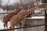 Giraffes39