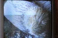 Blakistons_fish_owl26