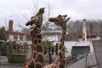 Giraffes40