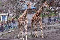 Giraffes41