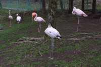Flamingo20