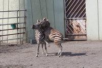 Zebra45
