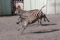 Zebra46