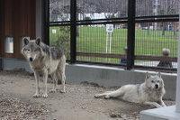 Wolves_m10