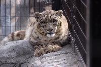 Snowleopard28