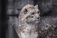 Snowleopard29