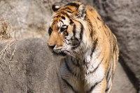Tiger_ha04