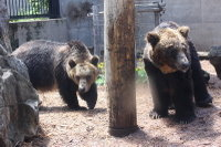 Brown_bear08