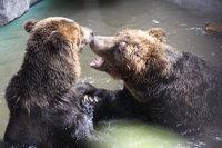 Brown_bear09