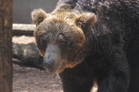Brown_bear10