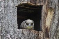 Blakistons_fish_owl33