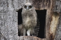 Blakistons_fish_owl35