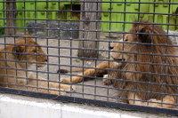 Lions_k04