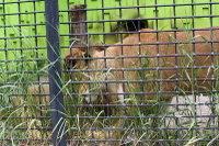 Lions_k05
